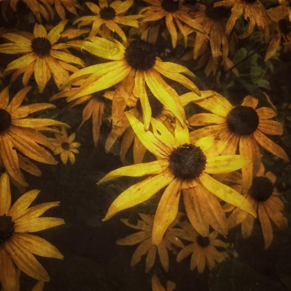 yellowdaisies